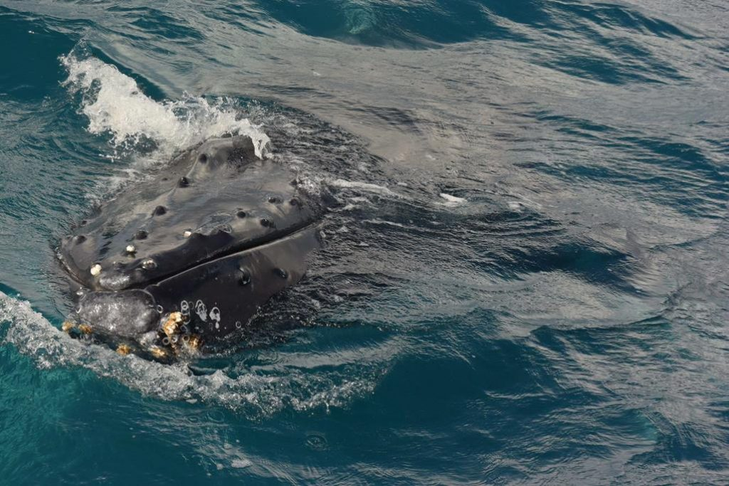 Whale snout