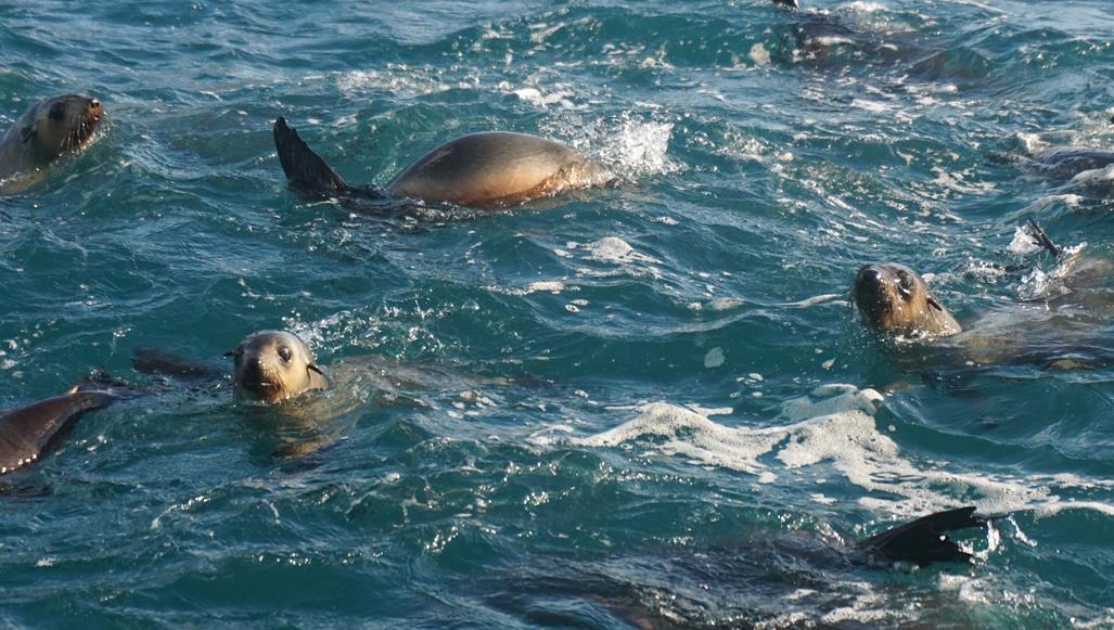 Australian Fur Seals Seal Rocks Phillip Island Wild OceanEco Boat